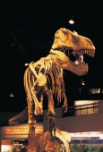 Tyrannosaurus Rex Display, Royal Tyrrell Museum of Palaeontology, Drumheller - Photo Credit: Travel Alberta