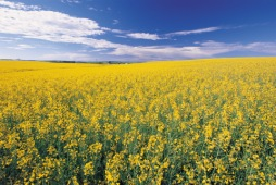 Canola Field, near Red Deer - Photo Credit: Travel Alberta